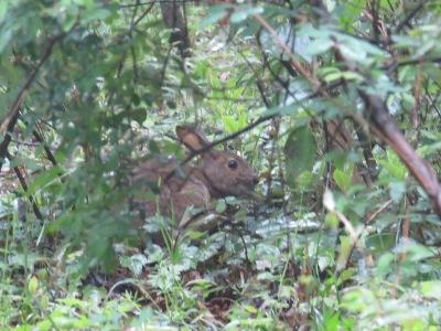 IMG_3627ノウサギ